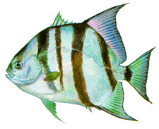 Outer banks fishing guide outer banks surf fishing for Nc saltwater fishing regulations